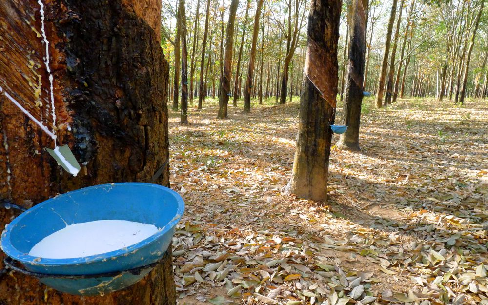 Bowls attached to rubber trees collecting latex in its natural form