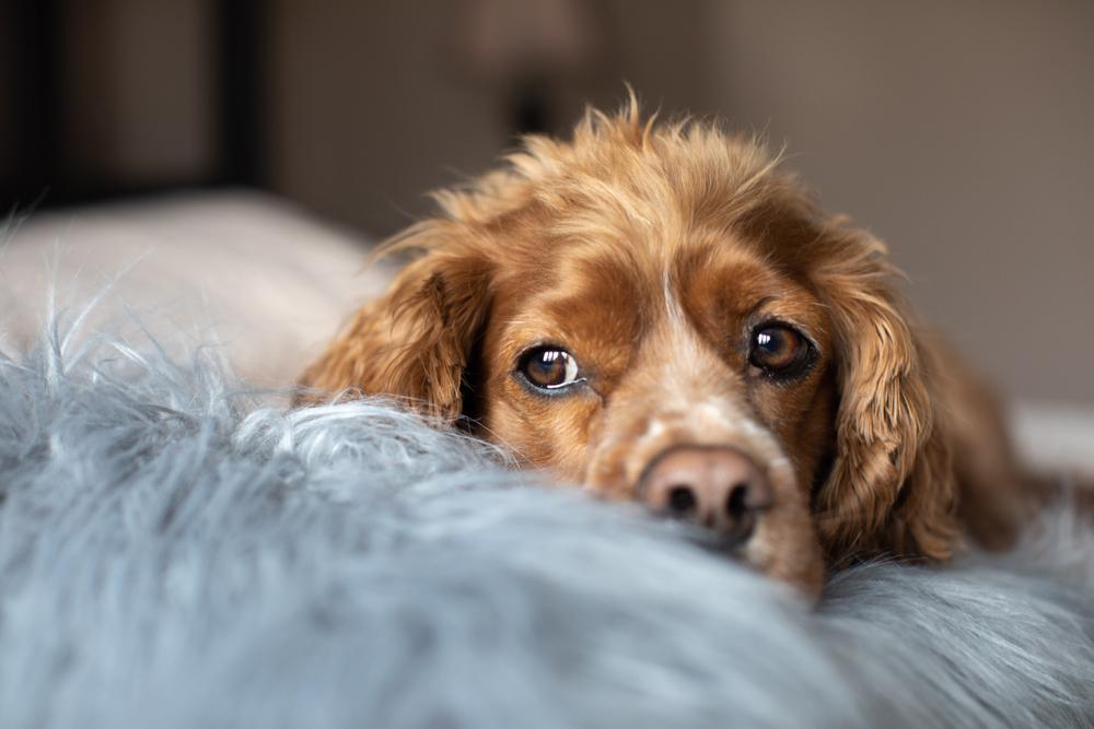 Brown dog lying on blue bedding